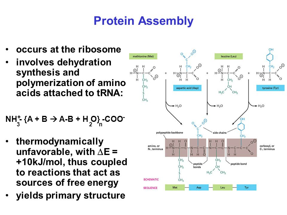 Protein Assembly occurs at the ribosome
