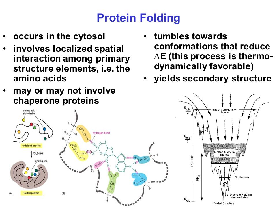 Protein Folding occurs in the cytosol