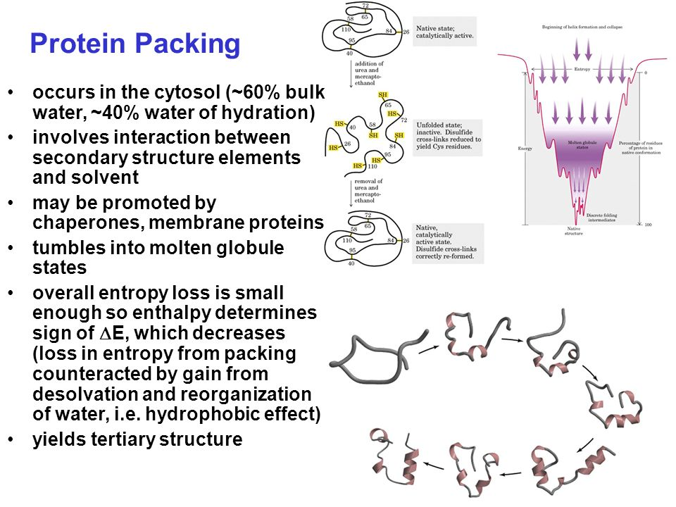 Protein Packing occurs in the cytosol (~60% bulk water, ~40% water of hydration)