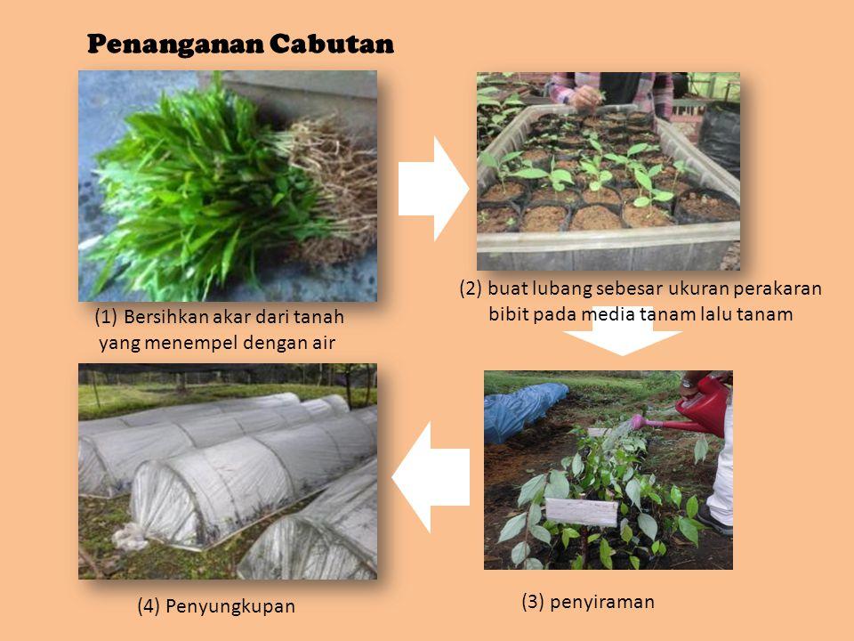 (1) Bersihkan akar dari tanah yang menempel dengan air