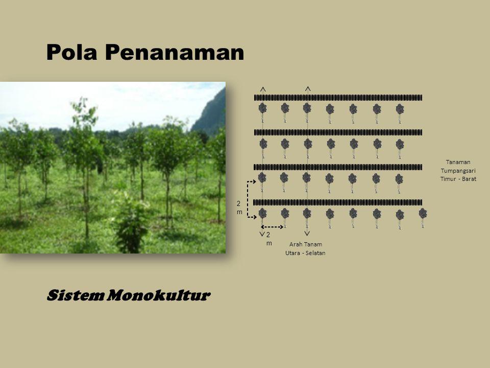 Pola Penanaman Sistem Monokultur Tanaman Tumpangsari Timur - Barat 2 m