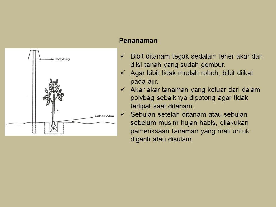 Penanaman Bibit ditanam tegak sedalam leher akar dan diisi tanah yang sudah gembur. Agar bibit tidak mudah roboh, bibit diikat pada ajir.