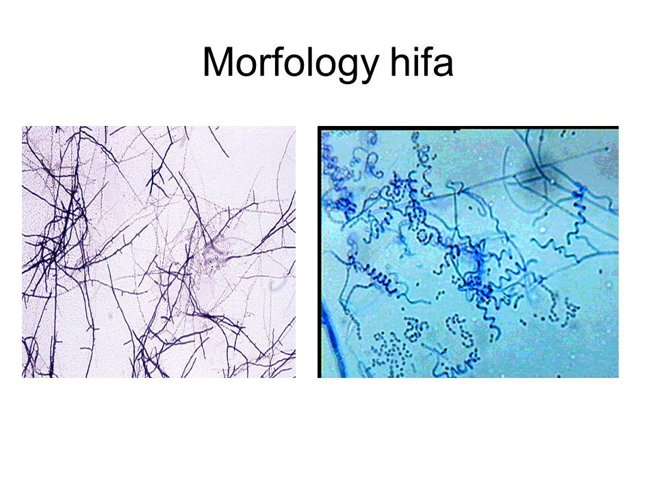 Morfology hifa