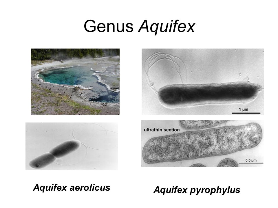 Genus Aquifex Aquifex aerolicus Aquifex pyrophylus