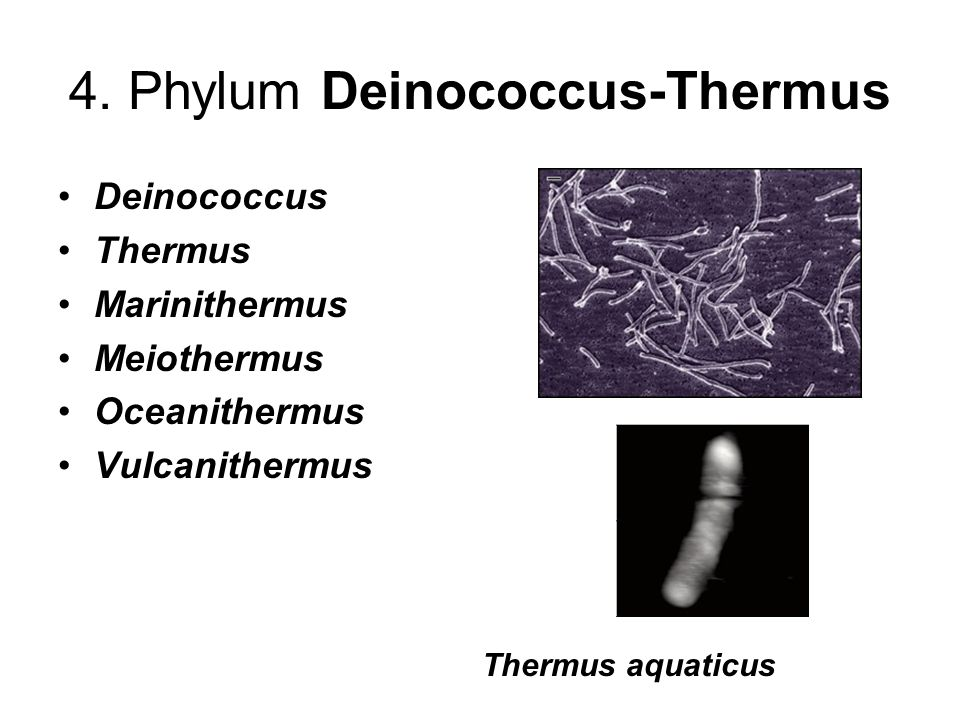 4. Phylum Deinococcus-Thermus