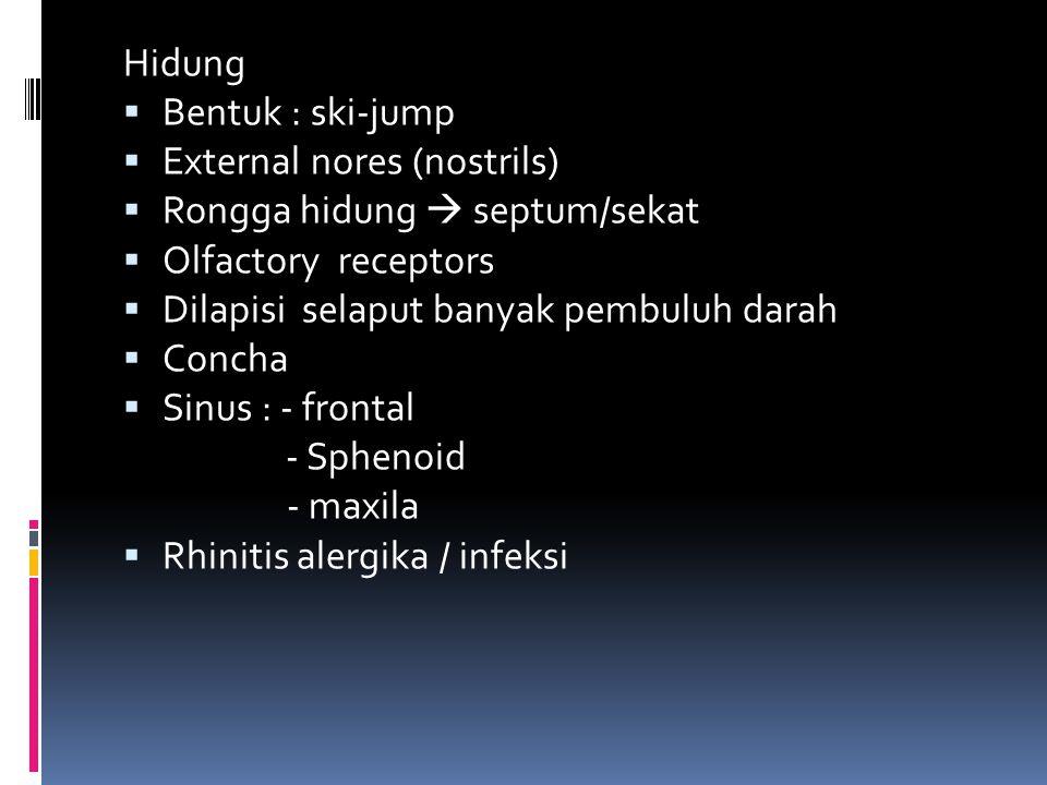 Hidung Bentuk : ski-jump. External nores (nostrils) Rongga hidung  septum/sekat. Olfactory receptors.