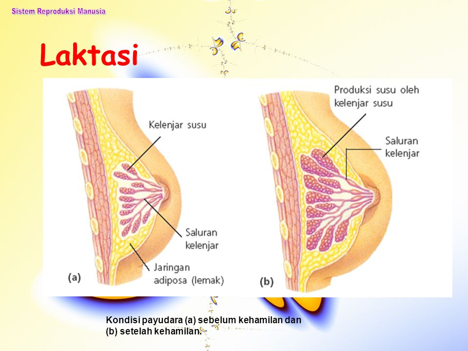 Sistem Reproduksi Manusia