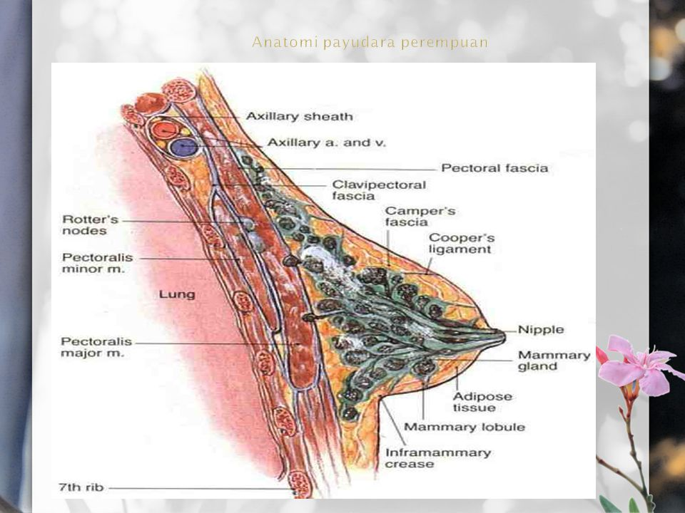 Anatomi payudara perempuan