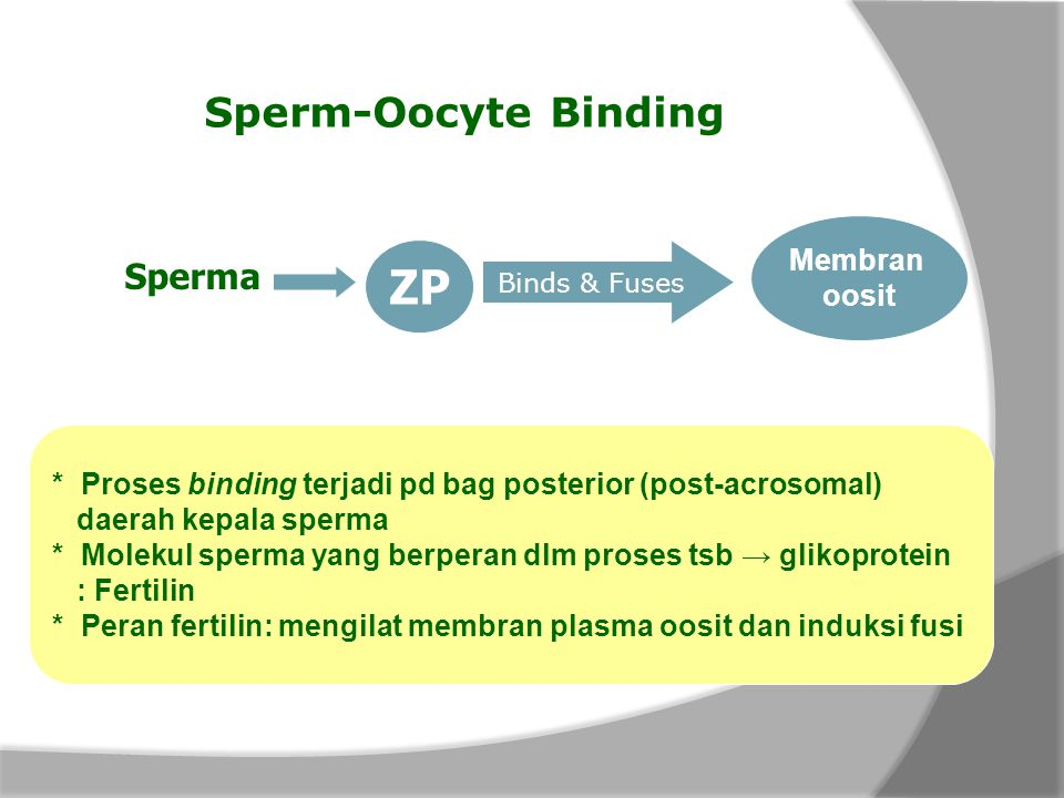 ZP Sperm-Oocyte Binding Sperma Membran oosit