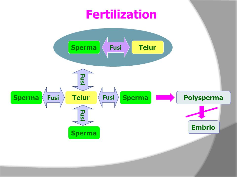 Fertilization Sperma Telur Fusi Sperma Telur Fusi Polysperma Embrio
