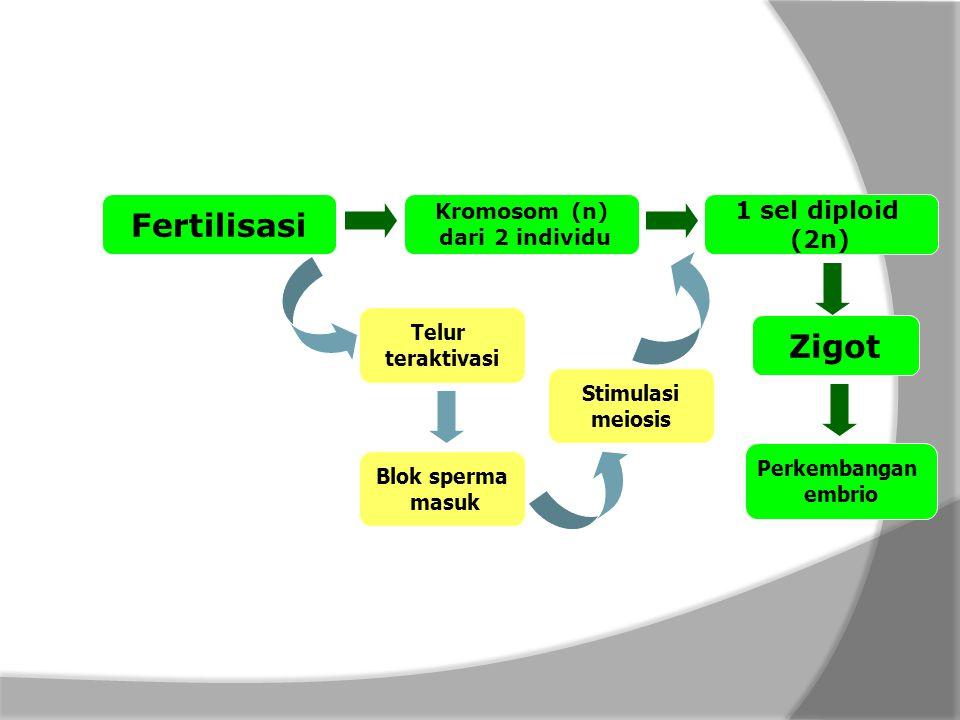 Fertilisasi Zigot 1 sel diploid (2n) Kromosom (n) dari 2 individu