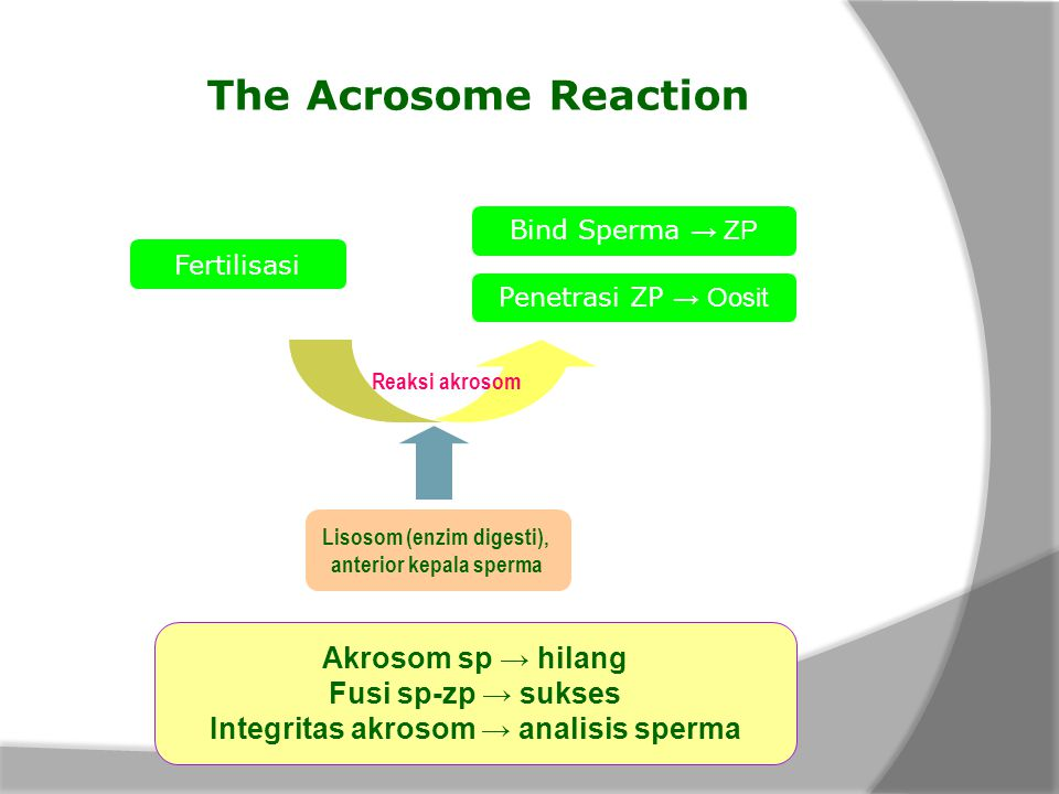 The Acrosome Reaction Akrosom sp → hilang Fusi sp-zp → sukses