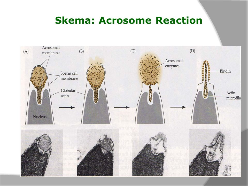 Skema: Acrosome Reaction