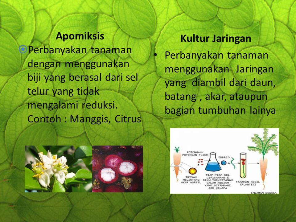 Apomiksis Perbanyakan tanaman dengan menggunakan biji yang berasal dari sel telur yang tidak mengalami reduksi. Contoh : Manggis, Citrus.