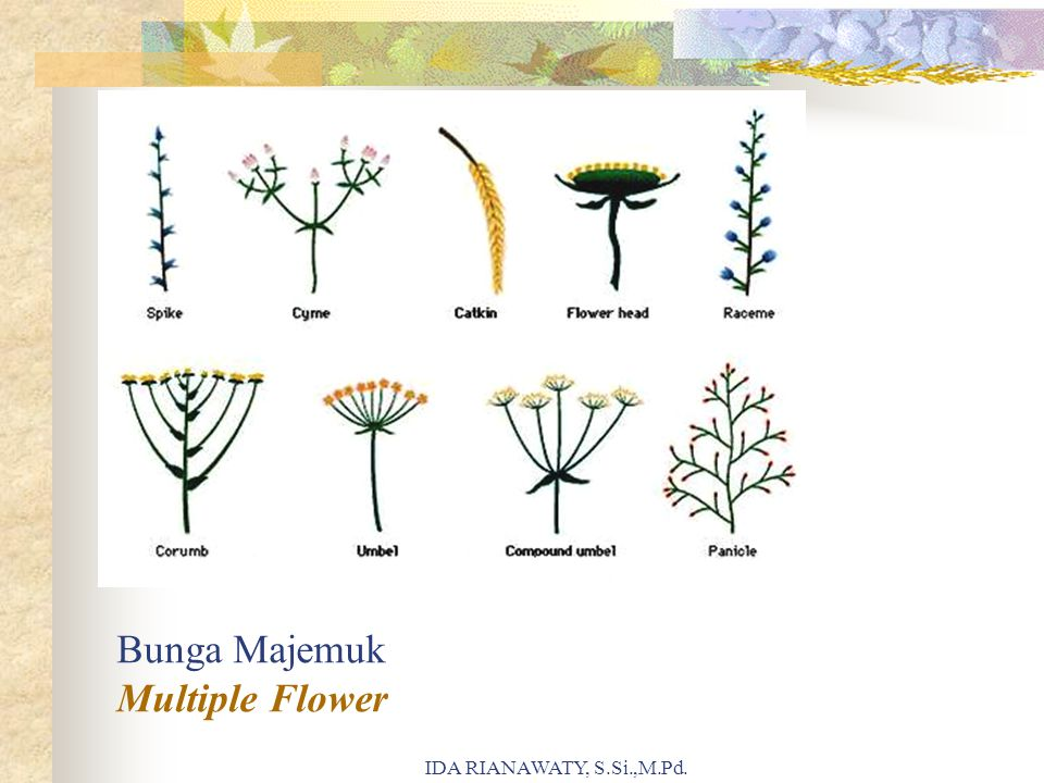 Bunga Majemuk Multiple Flower