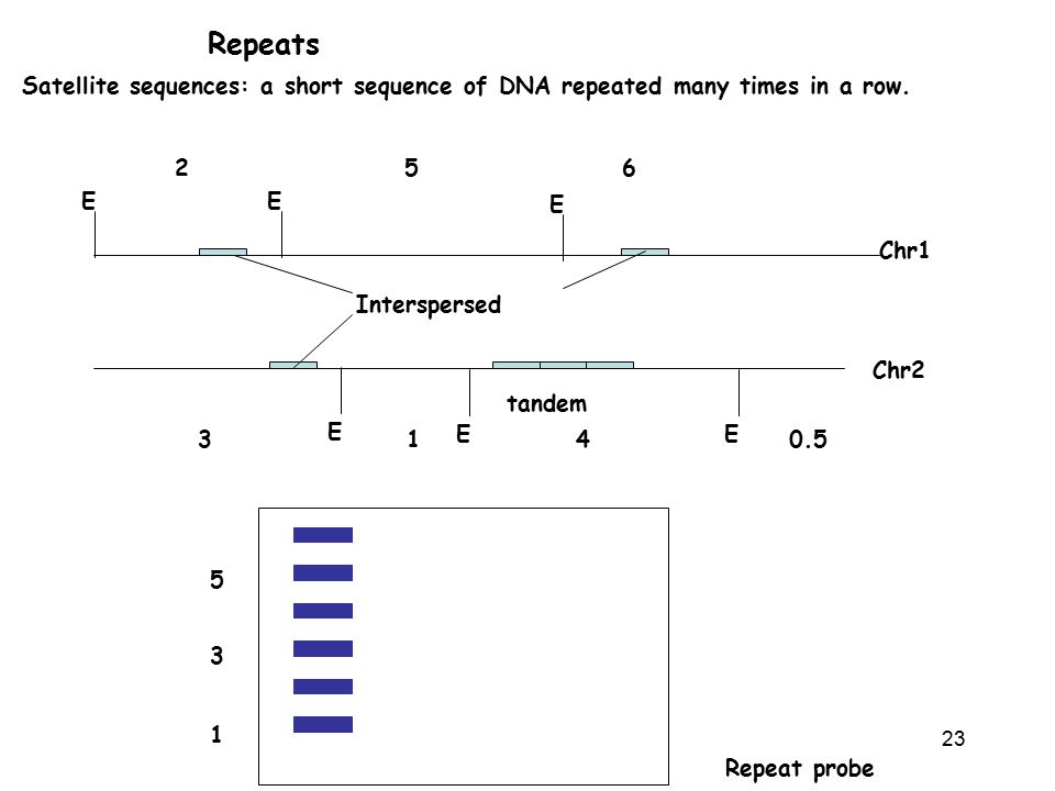 Repeats Satellite sequences: a short sequence of DNA repeated many times in a row. 2. 5. 6. E. E.