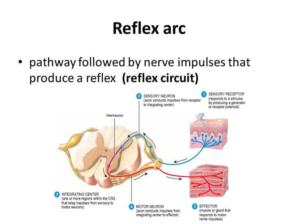 Reflex arc pathway followed by nerve impulses that produce a reflex (reflex circuit)