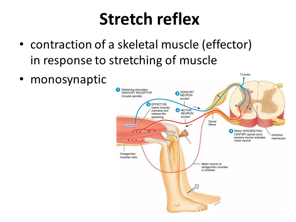 Stretch reflex contraction of a skeletal muscle (effector) in response to stretching of muscle.
