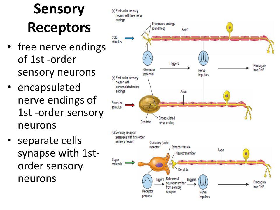 Sensory Receptors free nerve endings of 1st -order sensory neurons