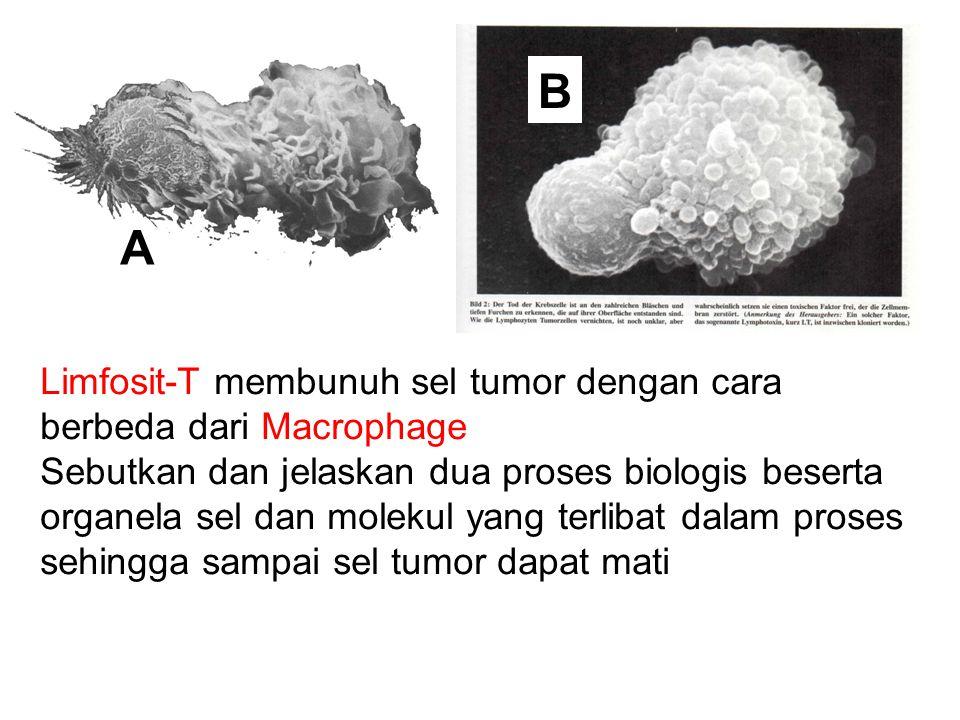 B A Limfosit-T membunuh sel tumor dengan cara berbeda dari Macrophage