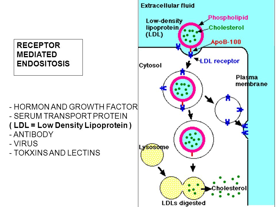 RECEPTOR MEDIATED. ENDOSITOSIS. - HORMON AND GROWTH FACTOR. - SERUM TRANSPORT PROTEIN. ( LDL = Low Density Lipoprotein )