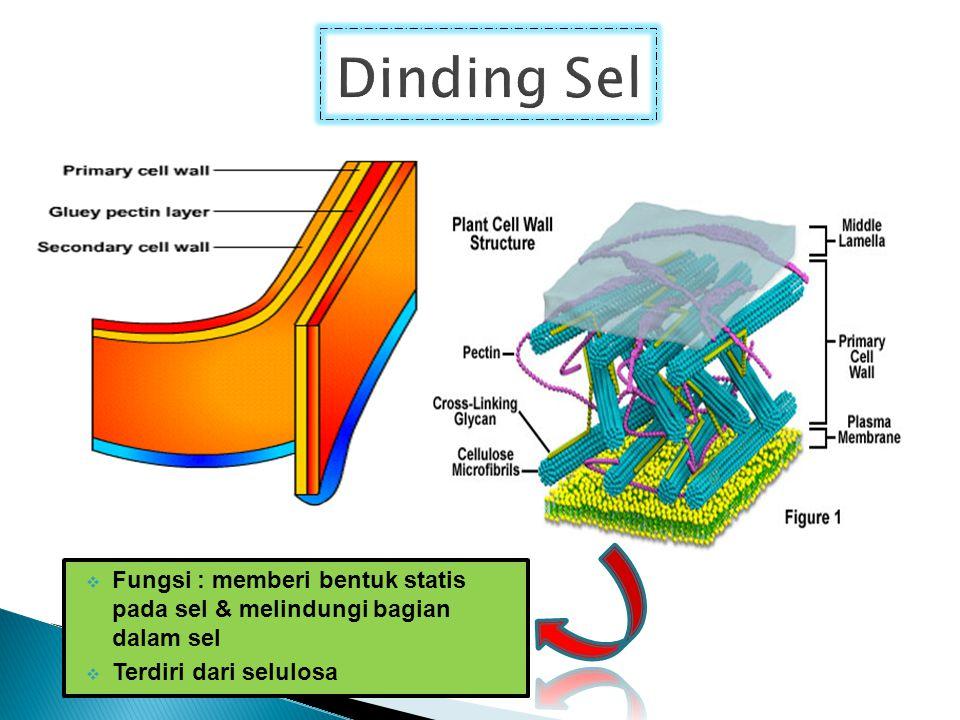 Dinding Sel Fungsi : memberi bentuk statis pada sel & melindungi bagian dalam sel.