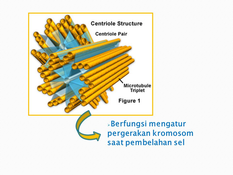 Berfungsi mengatur pergerakan kromosom saat pembelahan sel