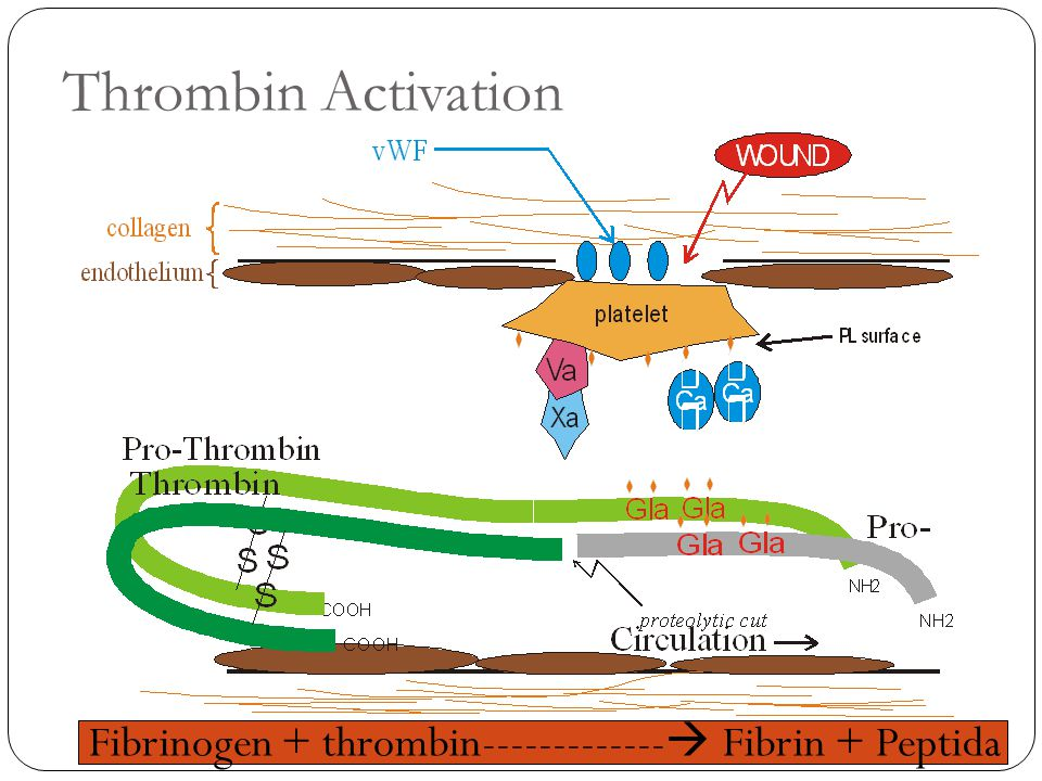 Thrombin Activation Fibrinogen + thrombin------------- Fibrin + Peptida