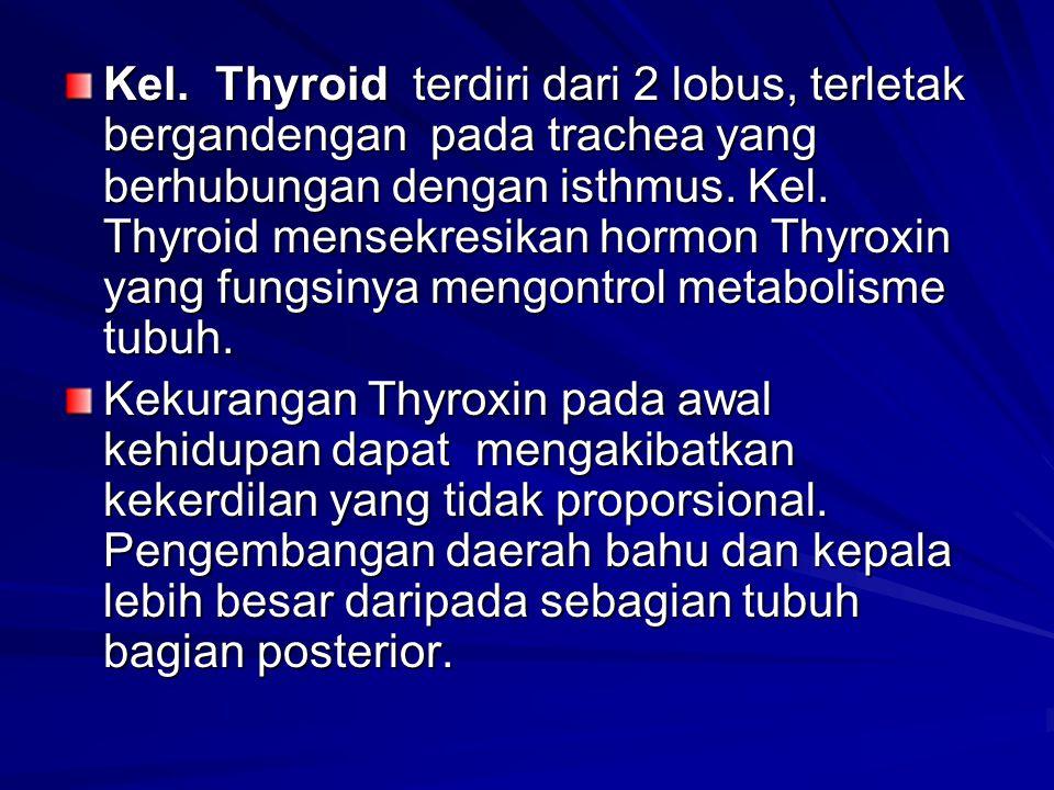 Kel. Thyroid terdiri dari 2 lobus, terletak bergandengan pada trachea yang berhubungan dengan isthmus. Kel. Thyroid mensekresikan hormon Thyroxin yang fungsinya mengontrol metabolisme tubuh.