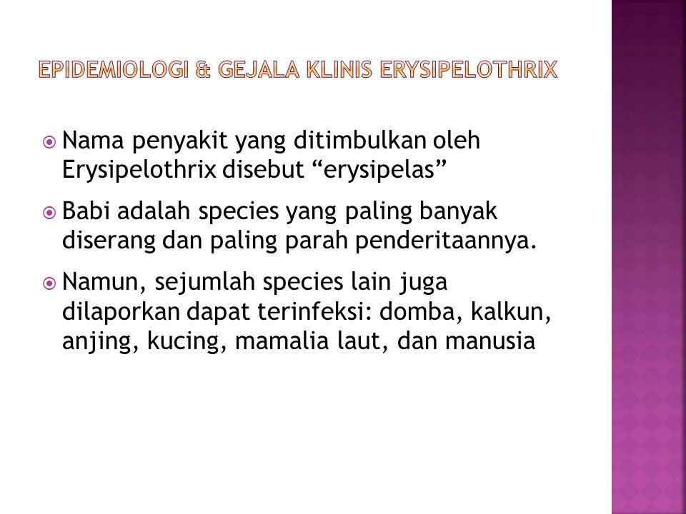 Epidemiologi & Gejala klinis Erysipelothrix