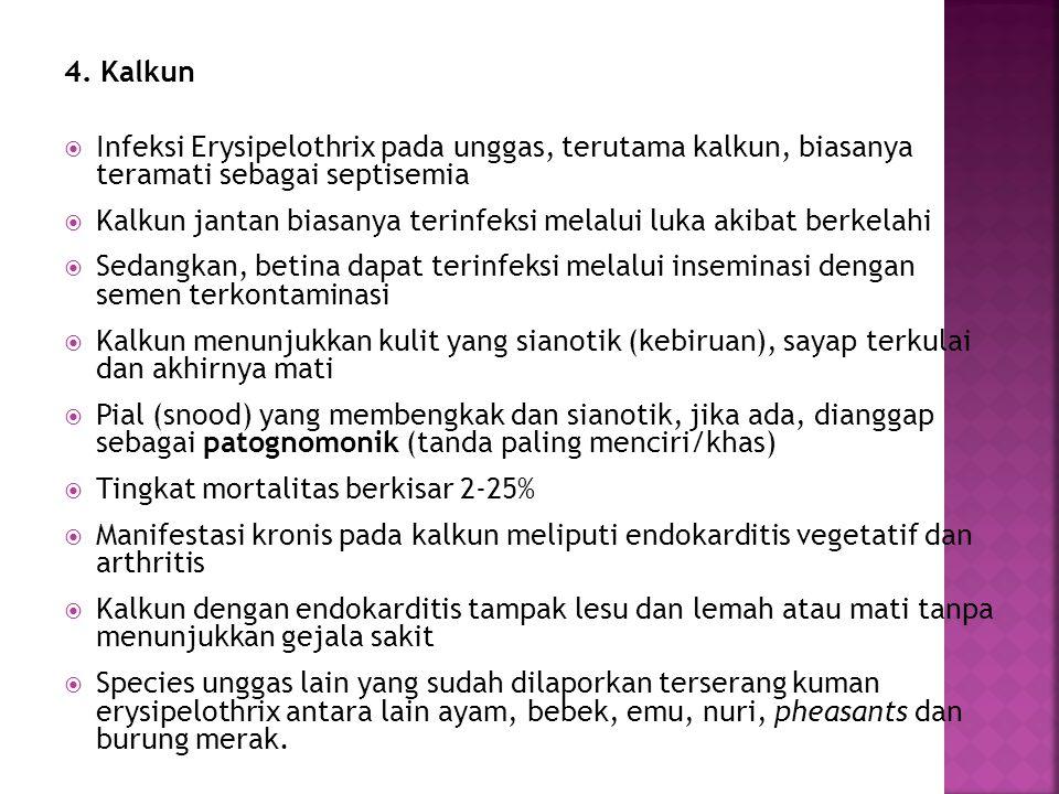 4. Kalkun Infeksi Erysipelothrix pada unggas, terutama kalkun, biasanya teramati sebagai septisemia.