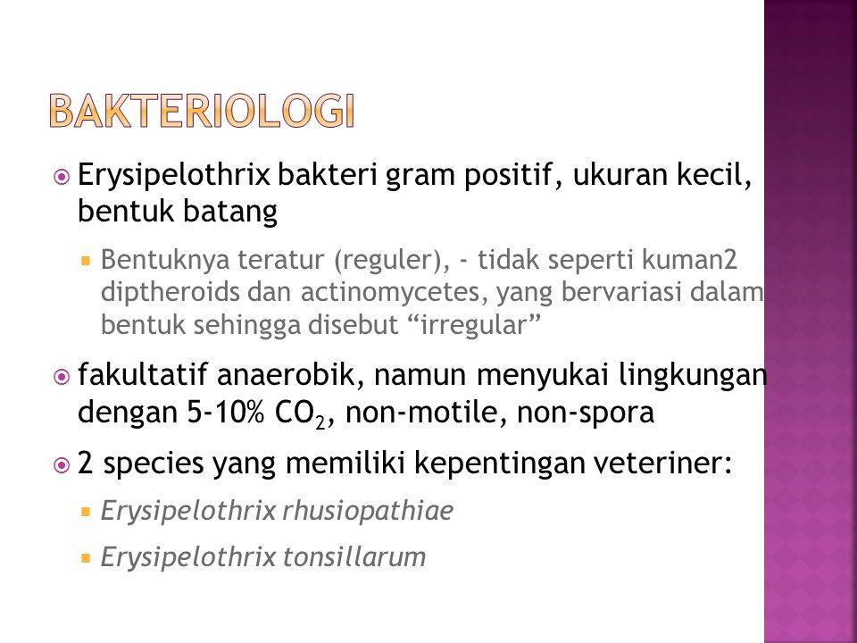 Bakteriologi Erysipelothrix bakteri gram positif, ukuran kecil, bentuk batang.