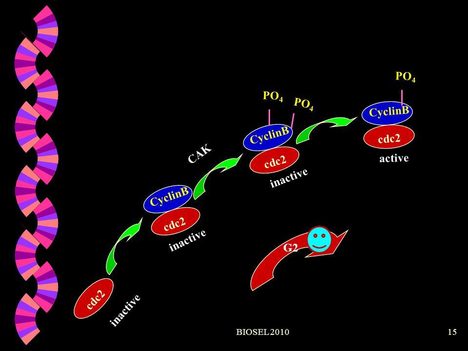 PO4 PO4 PO4 CyclinB CyclinB cdc2 CAK active cdc2 inactive CyclinB cdc2