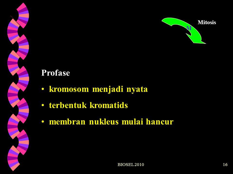 kromosom menjadi nyata terbentuk kromatids