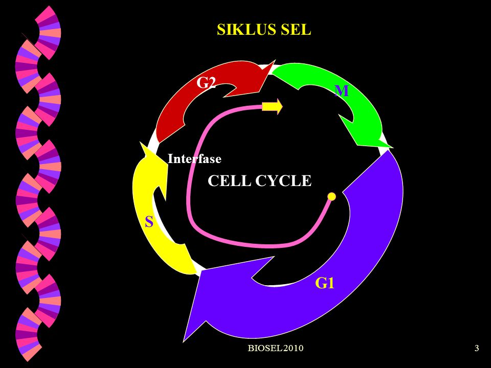 SIKLUS SEL CELL CYCLE G1 S G2 M