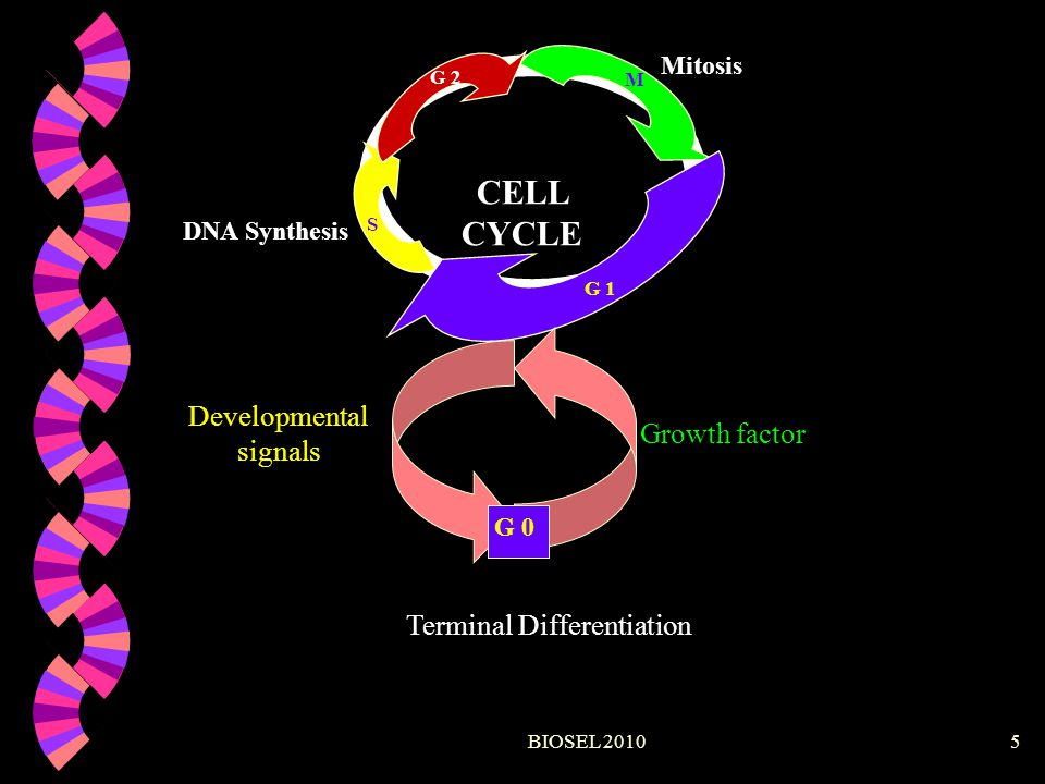 CELL CYCLE Developmental signals Growth factor