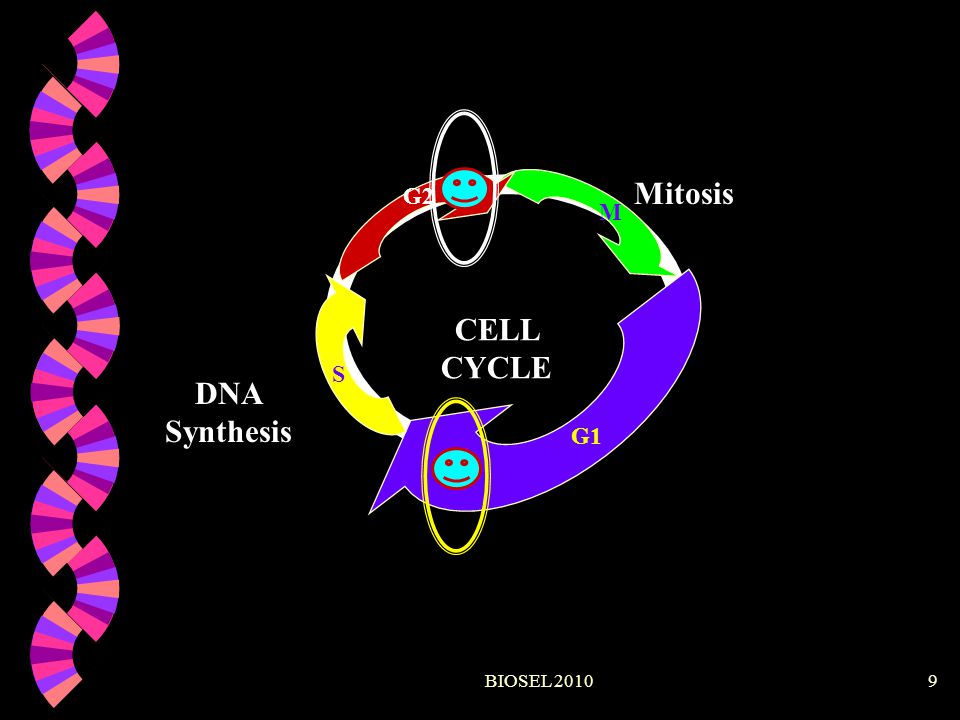 Mitosis CELL CYCLE DNA Synthesis