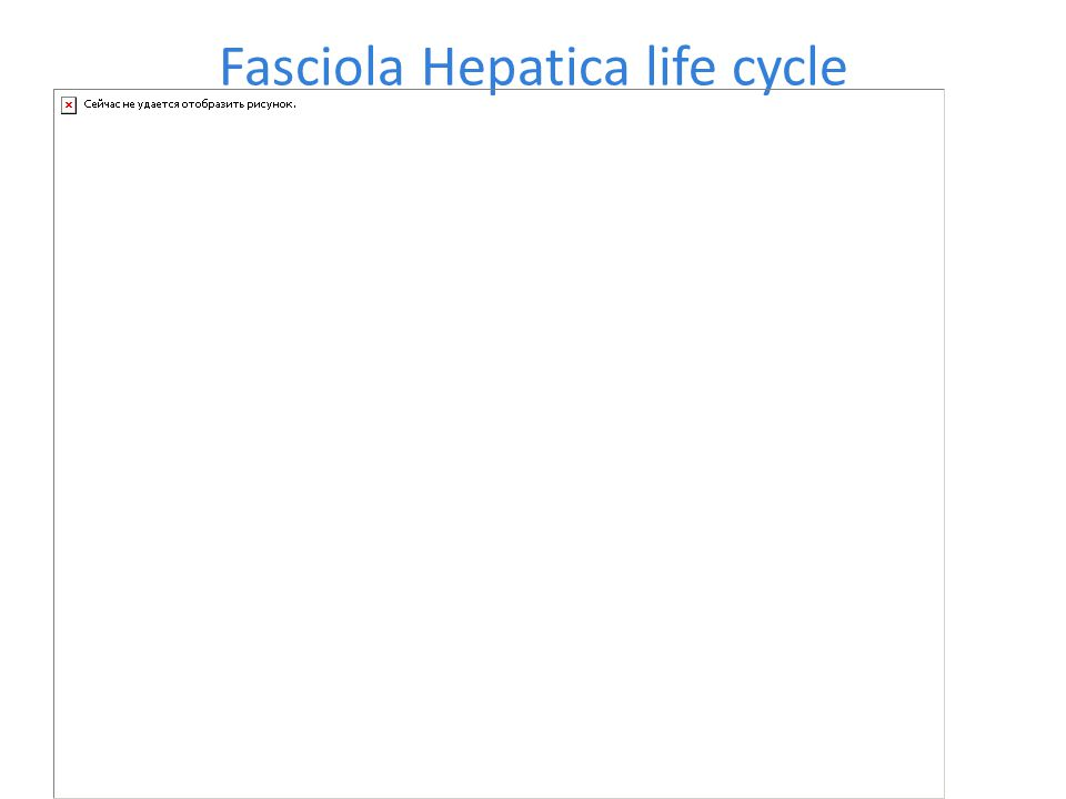 Fasciola Hepatica life cycle