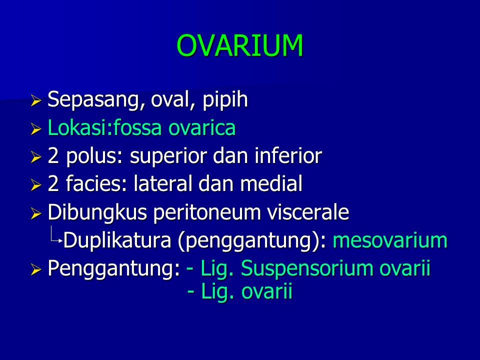 OVARIUM Sepasang, oval, pipih Lokasi:fossa ovarica