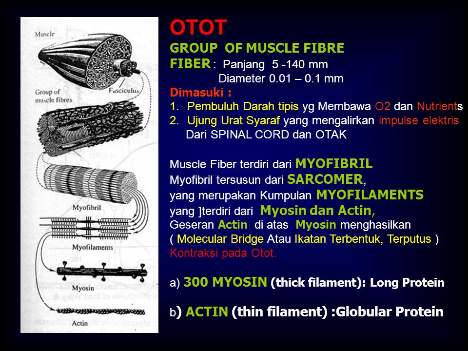 OTOT GROUP OF MUSCLE FIBRE FIBER : Panjang 5 -140 mm
