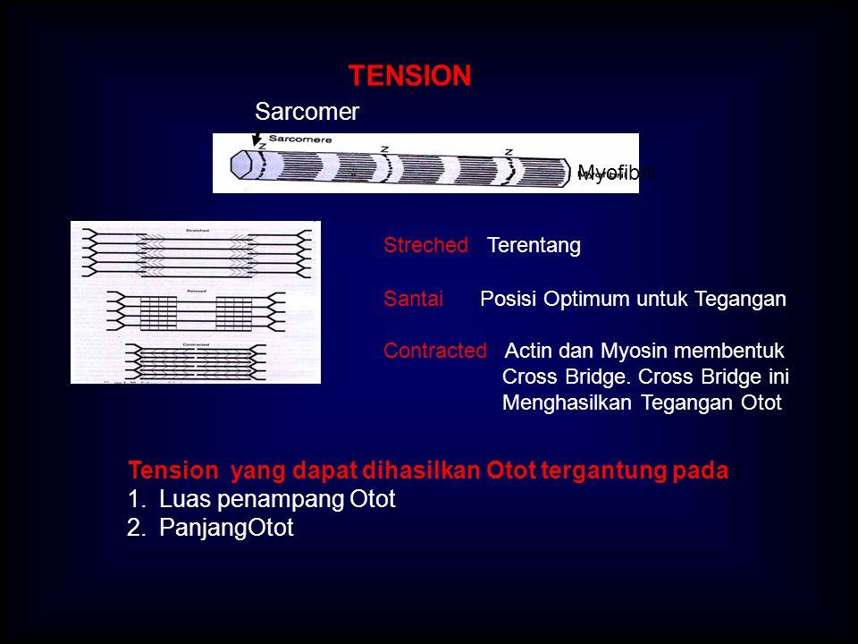 TENSION Sarcomer Tension yang dapat dihasilkan Otot tergantung pada :