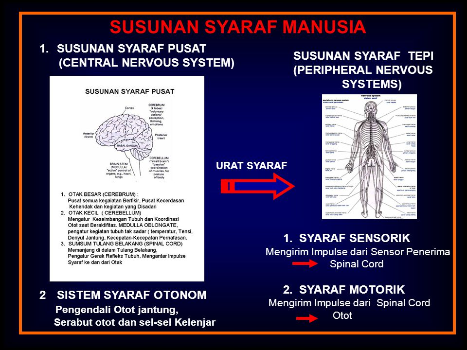 SUSUNAN SYARAF MANUSIA