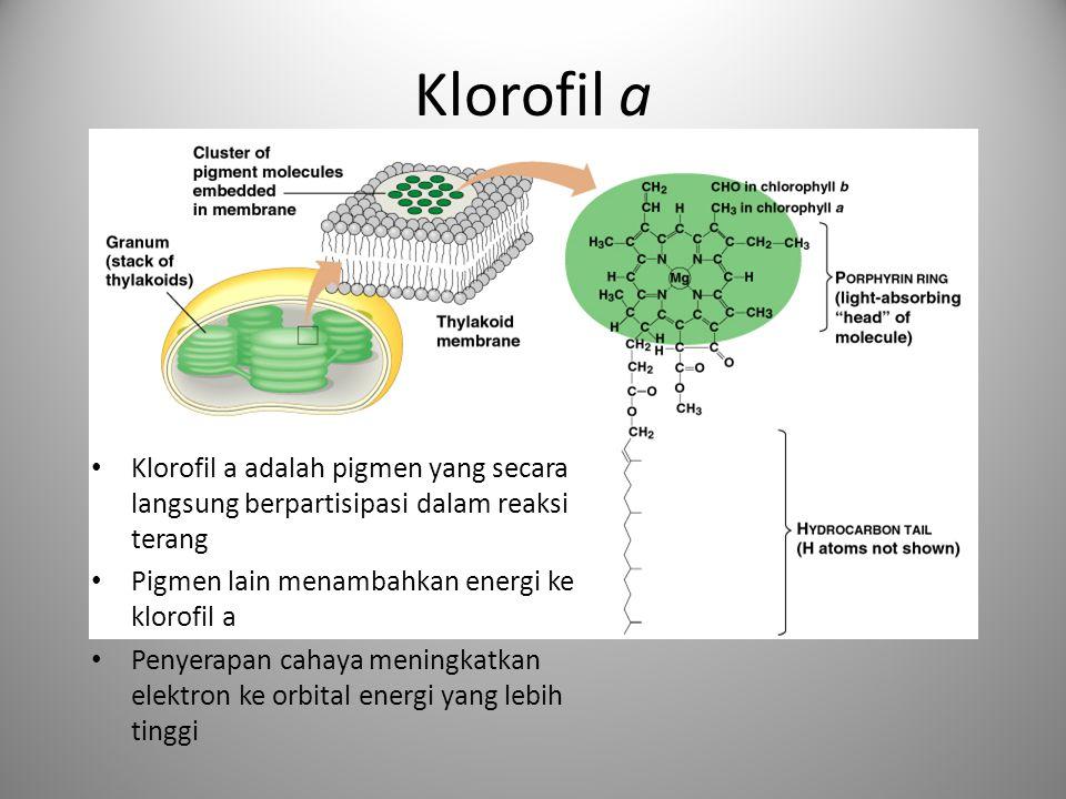 Klorofil a Klorofil a adalah pigmen yang secara langsung berpartisipasi dalam reaksi terang. Pigmen lain menambahkan energi ke klorofil a.