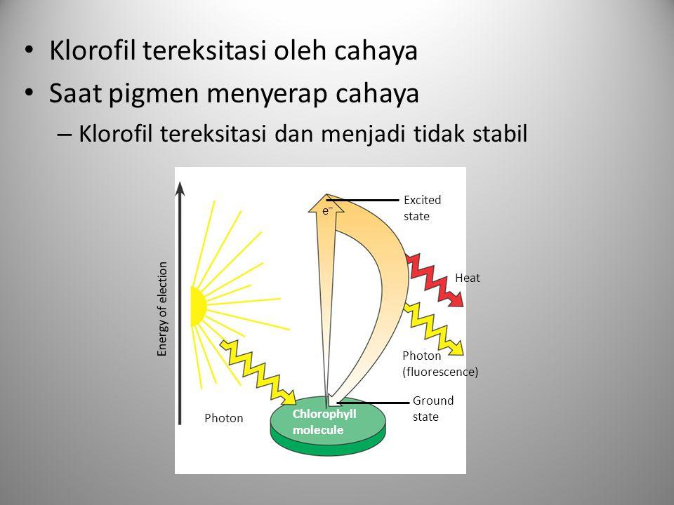 Klorofil tereksitasi oleh cahaya Saat pigmen menyerap cahaya