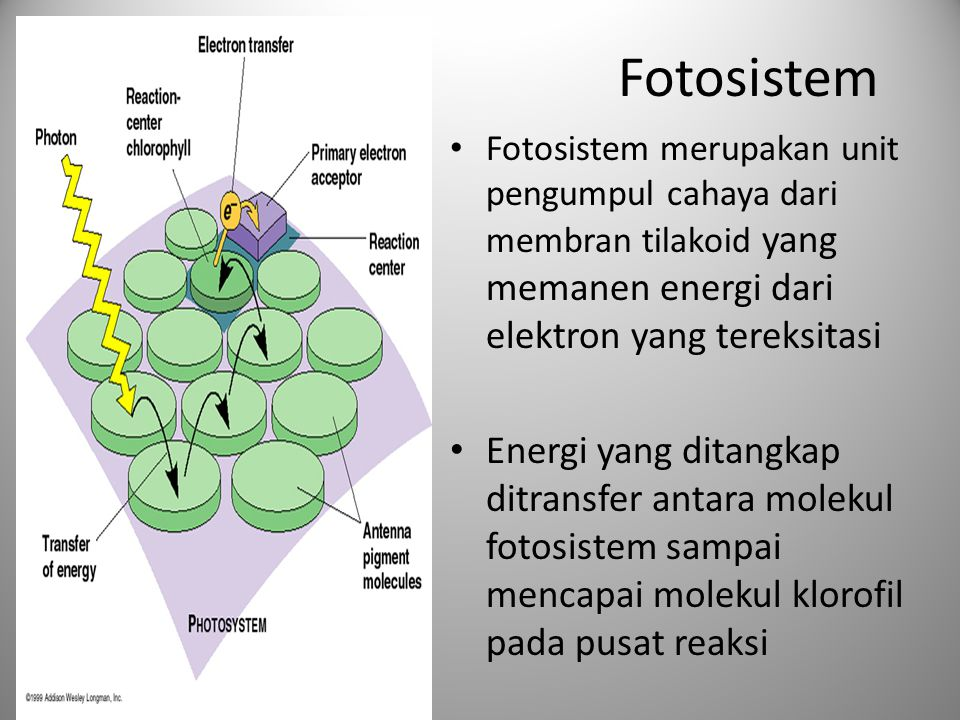 Fotosistem Fotosistem merupakan unit pengumpul cahaya dari membran tilakoid yang memanen energi dari elektron yang tereksitasi.