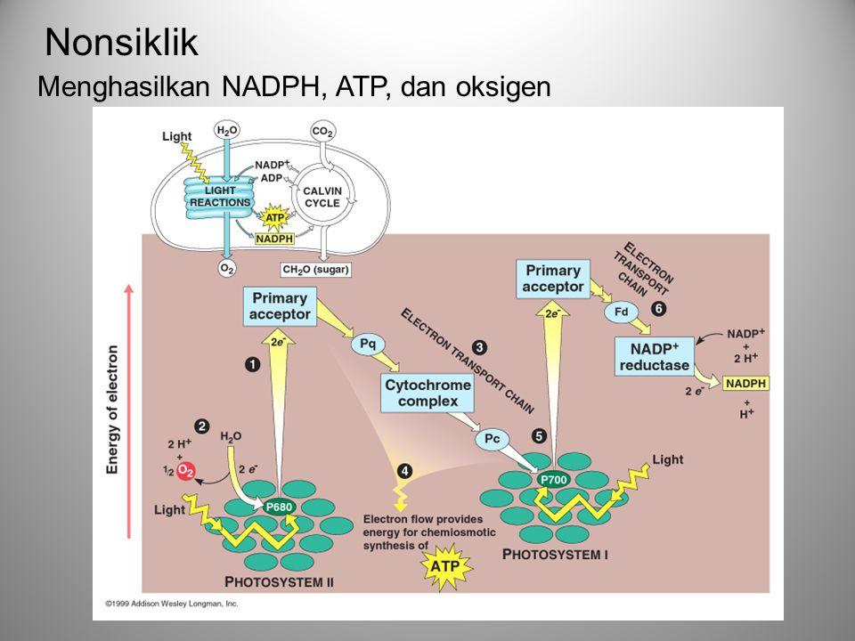 Nonsiklik Menghasilkan NADPH, ATP, dan oksigen