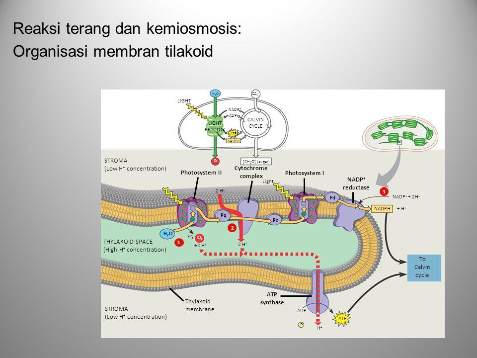 Reaksi terang dan kemiosmosis: Organisasi membran tilakoid