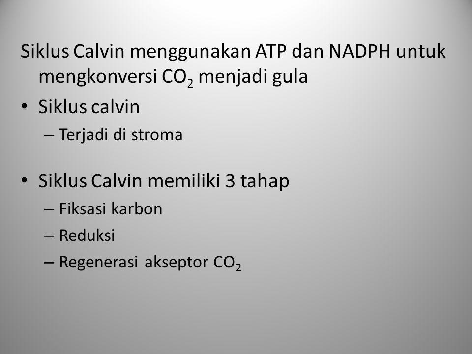 Siklus Calvin memiliki 3 tahap