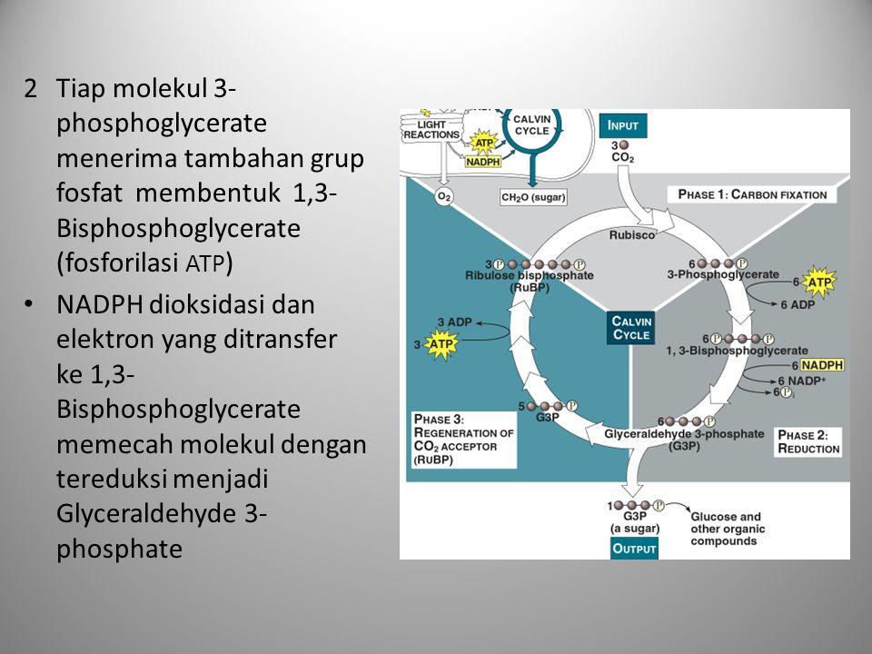 Tiap molekul 3-phosphoglycerate menerima tambahan grup fosfat membentuk 1,3-Bisphosphoglycerate (fosforilasi ATP)