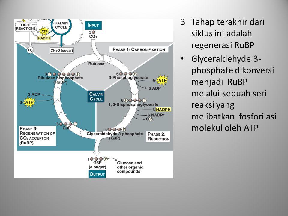 Tahap terakhir dari siklus ini adalah regenerasi RuBP